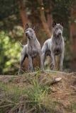 Cão tailandês dois Ridgeback que fica na floresta fotografia de stock royalty free