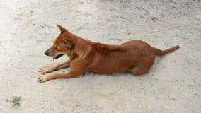 Cão tailandês doméstico do ridgeback video estoque