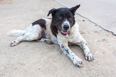 Cão tailandês na posição de encontro sobre o assoalho da areia Imagem de Stock
