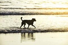 Cão tailandês que corre no mar na noite imagem de stock royalty free