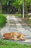 Cão tailandês que dorme na passagem Imagens de Stock