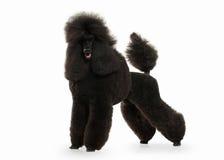 Cão Tamanho grande da caniche preta isolado no fundo branco Imagem de Stock