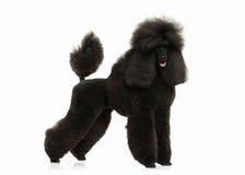 Cão Tamanho grande da caniche preta isolado no fundo branco Fotografia de Stock Royalty Free