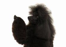 Cão Tamanho grande da caniche preta isolado no fundo branco Imagens de Stock Royalty Free