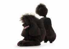 Cão Tamanho grande da caniche preta isolado no fundo branco Imagem de Stock Royalty Free