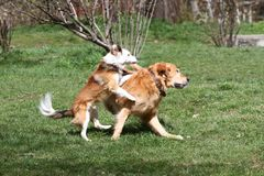 Cão Tempo da mola e de verão Os cães correm em um prado na natureza em uma luz do dia Cão feliz Jogo dos cães na grama fotos de stock royalty free
