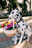 Cão, terra arrendada, flores, cachorrinho, sugando, leite Fotos de Stock Royalty Free
