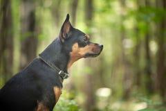 Cão, terrier na floresta o conceito de um perdido fotos de stock
