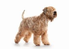 Cão Terrier wheaten revestido macio irlandês imagem de stock
