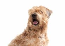 Cão Terrier wheaten revestido macio irlandês fotografia de stock royalty free