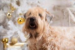 Cão Terrier wheaten revestido macio irlandês no fundo do Natal imagem de stock royalty free