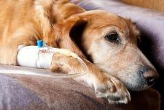 Cão Tired que toma a infusão com a cânula na veia foto de stock