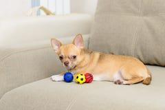 Cão Toy Terrier com bolas dos brinquedos imagem de stock