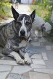 Cão transversal de Bardino Canarino Presa Imagem de Stock Royalty Free