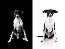 Cão traseiro ou branco Imagens de Stock