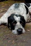 Cão triste. Foto de Stock Royalty Free