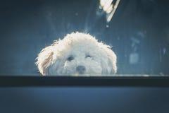 Cão triste deixado no carro Fotos de Stock