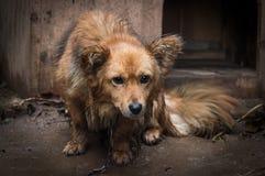 Cão triste em uma corrente, animal, cor, foto fotografia de stock royalty free