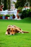 Cão triste na grama Fotografia de Stock