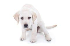 Cão triste ou mau Imagens de Stock Royalty Free