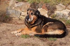 Cão triste velho que encontra-se no jardim Olhar triste Resto na idade avançada Cão doente foto de stock royalty free