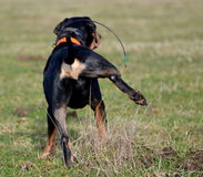 Cão urinando Fotografia de Stock Royalty Free