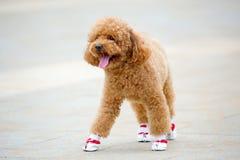 Cão, urso de peluche em sapatas novas fotografia de stock