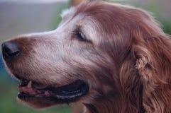 Cão velho Imagens de Stock