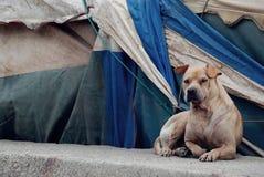 Cão velho Imagem de Stock Royalty Free