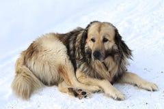 Cão velho da montanha na neve imagens de stock