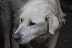 Cão velho do kuvasz Fotografia de Stock