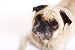 Cão velho do pug Fotos de Stock