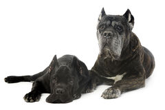 Cão velho e novo do corso do bastão no estúdio Imagens de Stock