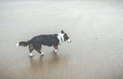Cão velho na praia Imagens de Stock Royalty Free