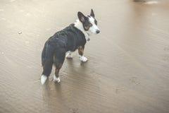 Cão velho na praia Foto de Stock Royalty Free