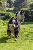 Cão velho perseguido pelo filhote de cachorro fotografia de stock
