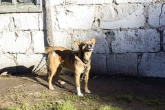Cão vermelho fotos de stock royalty free