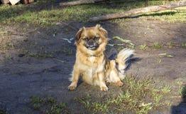 Cão vermelho Fotografia de Stock Royalty Free