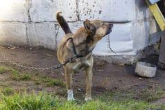 Cão vermelho Imagem de Stock