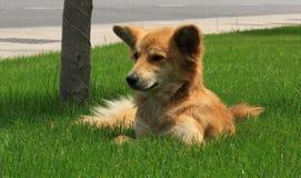Cão vermelho Foto de Stock Royalty Free