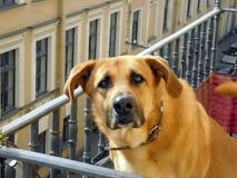 Cão vermelho bonito que senta-se no balcão fotos de stock royalty free
