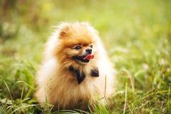 Cão vermelho brilhante do Spitz de Pomeranian que senta-se na grama verde Fotografia de Stock