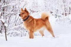 Cão vermelho careliano na neve Fotos de Stock Royalty Free