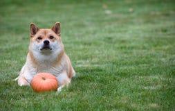 Cão vermelho com abóbora Imagens de Stock Royalty Free