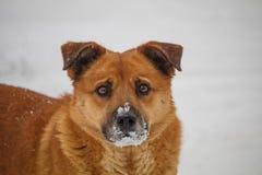 Cão vermelho com neve em seu nariz procurando o alimento sob a neve Um cão disperso foto de stock