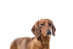 Cão vermelho curto do bassê, cão de caça, isolado sobre o fundo branco Imagem de Stock