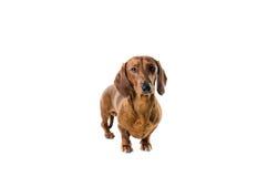 Cão vermelho curto do bassê, cão de caça, isolado sobre o fundo branco Fotografia de Stock
