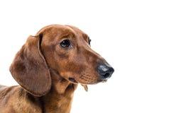 Cão vermelho curto do bassê, cão de caça, isolado sobre o fundo branco Imagens de Stock Royalty Free