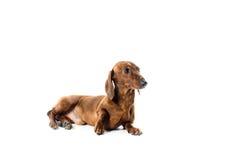 Cão vermelho curto do bassê, cão de caça, isolado sobre o fundo branco Fotos de Stock Royalty Free
