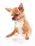 Cão vermelho da chihuahua no fundo branco Foto de Stock